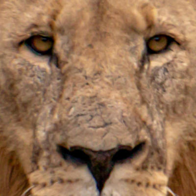 Lion 100% crop.jpg