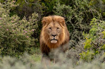 Lion Full Uncropped.jpg